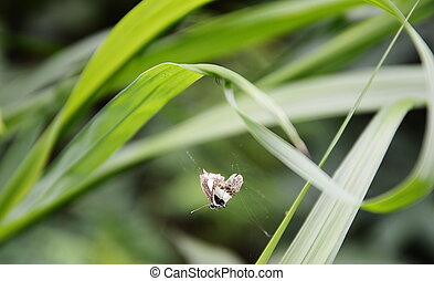 papillon, piégeage, sur, araignés, toile,