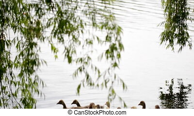 Domestic geese in the pond - Domestic geese with goslings...