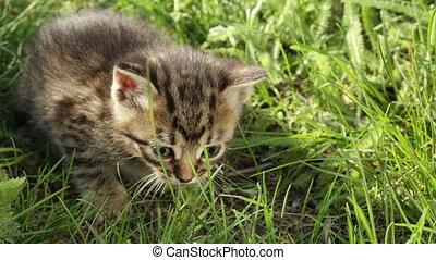 Little tabby kittens on green grass HD - Little kitten...