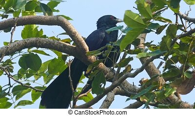 drongo bird on tree