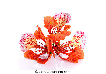 Red peacock Flower isolated on the white background.