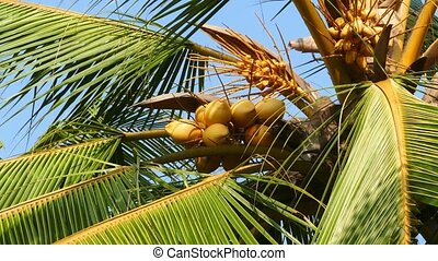coconuts on palm closeup