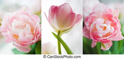 tríptico, brotes, de, rosa, tulipanes,