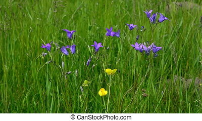 Flower bell against the green grass - Blue bell flowers on...