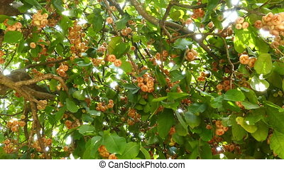 Rose apples or chomphu fruits on tree