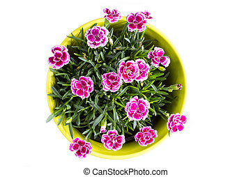Top view of purple mini carnation dianthus in colorful...