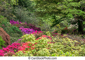 Azaleas in Full Bloom