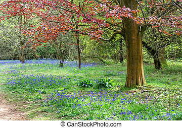 Bluebells in Full Bloom