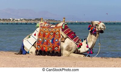 Camel on the beach in Egypt