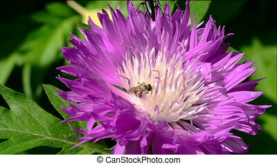 Bee and beetle on purple flower.