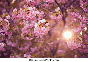 Beautiful pink cherry blossom flower at full bloom. Sakura -...