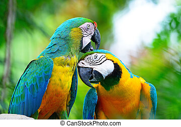 Harlequin macaw - Colorful parrot bird, Harlequin macaw,...
