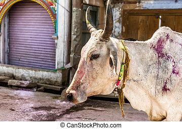 Holi, vache, sur, les, Holi, festival, dans, Inde,
