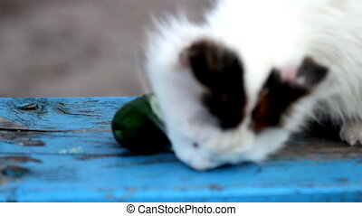 Cat and cucumber Part - Cute cat eating fresh cucumber on...