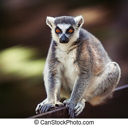 Lemur catta - Image of lemur catta (ring tailed lemur) on...