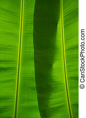 Banana leaves background