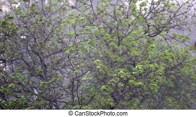 Spring rainfall - Walnut tree in the spring downpour and...