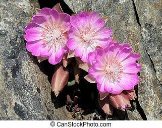 Three Bitterroot Flowers in Crevice - Three Bitterroot...