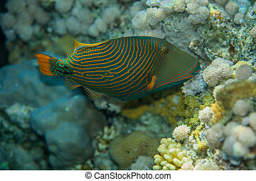 Orange-striped triggerfish - Portrait of Orange-striped...