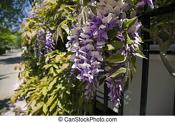 Wisteria on a wall in Edgartown Massachusetts, Marthas...