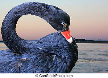 black swan - close up of a black swan with water in the...