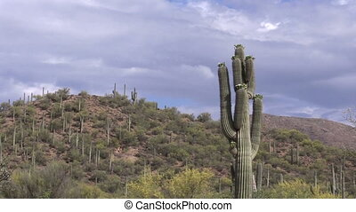 Saguaro Cactus in Bloom - saguaro cactus blooming in the...