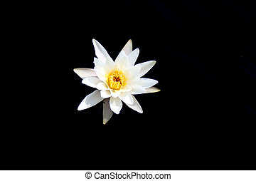 White water lily on a dark background