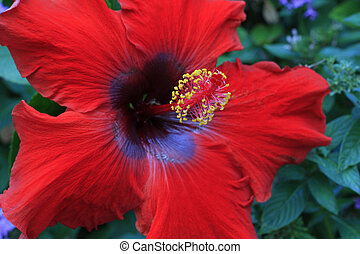 red hibiscus flower - bright red hibiscus flower growing on...
