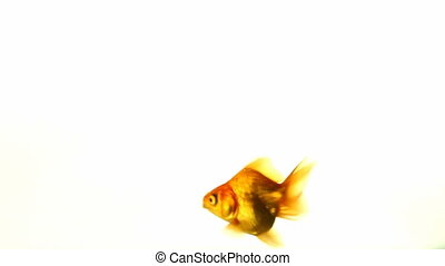 goldfish - Goldfish swimming in a fishbowl