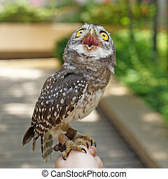 spotted owlet or athene brama bird on a hand