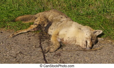 Coyote Roadkill med - Dead coyote lying beside a country...