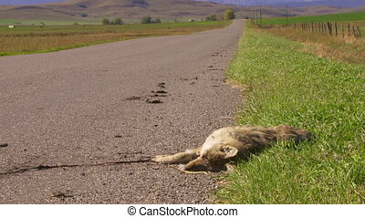 Coyote Roadkill med - Dead coyote lies beside a country road