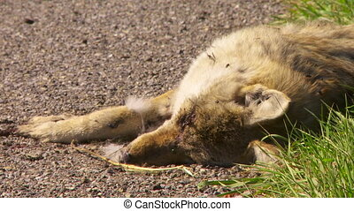 Coyote Roadkill cu - Close shot of dead coyote beside a...