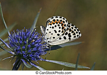 Chequred Blue, Butterfly Scolitantides orion