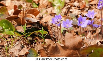 first spring flowers, shot with slider