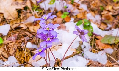 spring flowers and melting snow, time-lapse