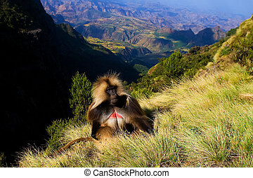 Gelada baboon sitting on top of the cliff in the Simien...
