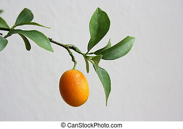 Calamondin Citrus Oranges, native to China, (X Citrofortunella mitis), a showy ornamental, makes excellent marmalade. The juice is used to bleach ink stains from fabrics and also as a body deodorant,