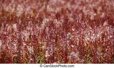 Autumn colored Fire Weed - Close up of autumn colors of...