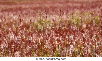 Autumn colored Fire Weed - Autumn colors of natural grasses...