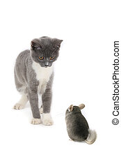chinchilla and british kitten isolated on the white