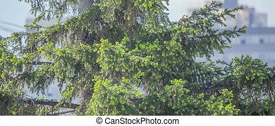 Green young fir tree needles.