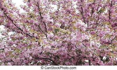 cherry blossom background with lovely pink color - cherry...