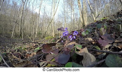 hepatica flower in forest - first early spring flower...