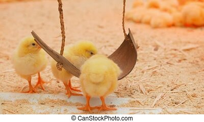 Small chicks play and relax in the paddock