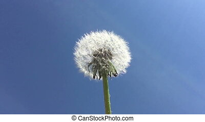 Dandelion seeds being blown in the wind in the blue sky.