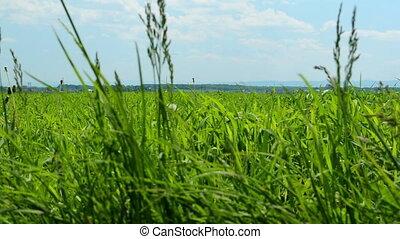 Fresh green grass - Close-up of fresh green grass in summer...