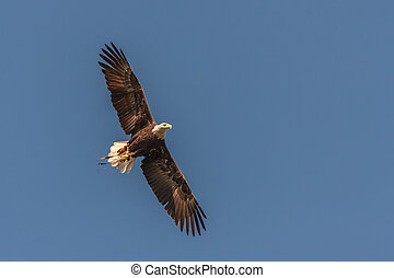 bald eagle in mid air