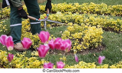 Hands are cut bush clippers tulip