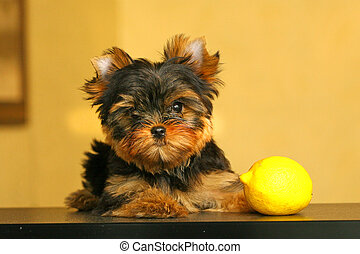 The Yorkshire Terrier is a small dog breed of Terrier type, developed in the 1800s in the historical area of Yorkshire in England. The defining features of the